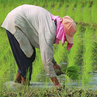 Getting High on Hybrid-PhilRice and the Hybrid Rice Farmers-cover
