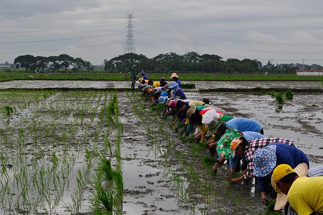 PhilRice-rainy-season