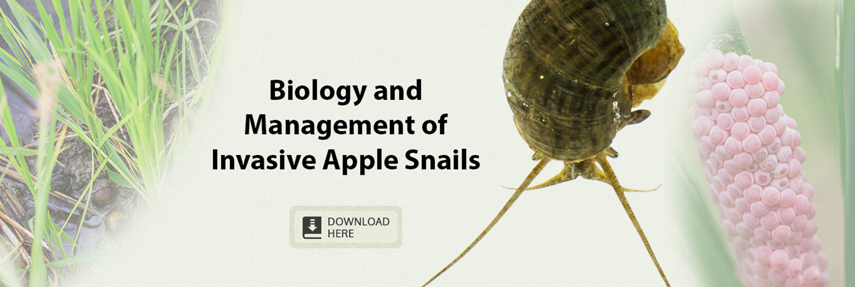 Biology-and-management-of-invasive-apple-snails
